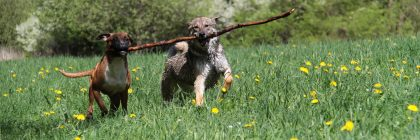 Two dogs carrying a large stick together