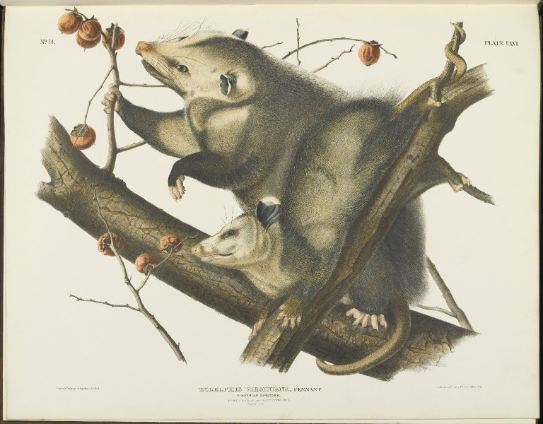 Illustration of a mother and baby possum on a branch