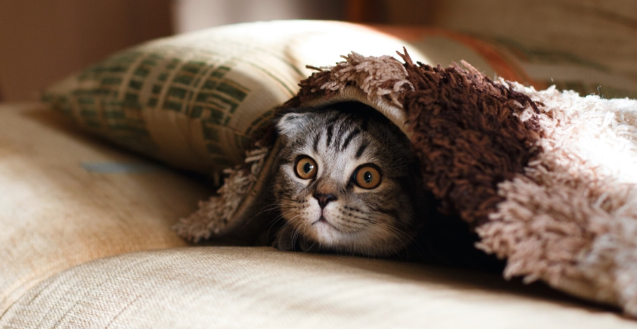 A photograph of a cat looking out from under a blanket.